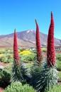 Echium pininana 4 metrová rostlina tisíce květů