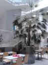 Prodej vzroslé palmy