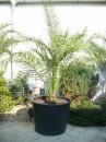 Palma Phoenix