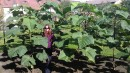 Stromky a sazenice paulovnií (paulownia) - kirl a tomentosa