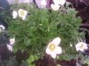 Prodám mladé rostlinky- \