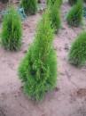 Prodám levně thuje smaragd 80-100 cm