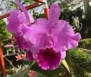 Orchideje Cattleya