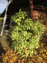 Aucuba rostlina