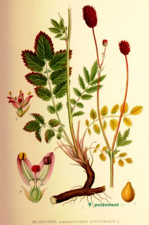 презентацыя растения красной
