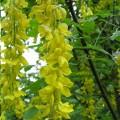 Štědřenec / zlatý déšť