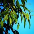 Eukalyptus / Blahovičník