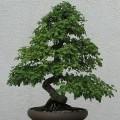 Pěstování bonsají - rady pro začátečníky